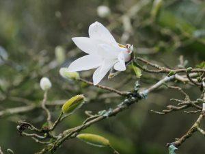 Magnolia x proctoriana