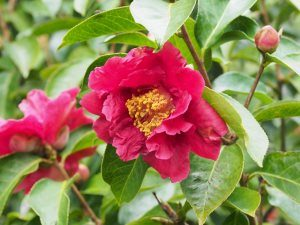 Seedling from Camellia reticulata 'Nuccios Ruby'