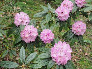 Rhododendron frangipanensis