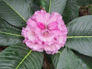 Rhododendron prostitum