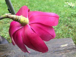 Magnolia campbellii 'Peter Borlase'