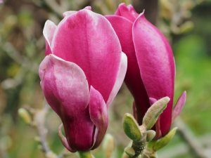 Magnolia 'March-Till-Frost'