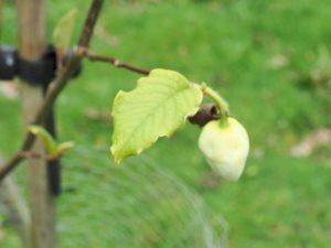 Magnolia sieboldii sinensis