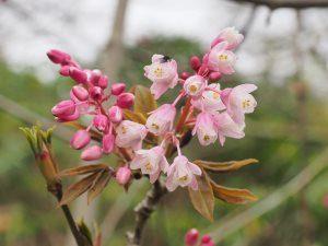 Staphylea holocarpa 'Rosea'