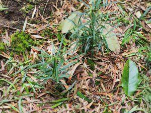 Pododcarpus salignus seedlings