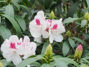 Rhododendron 'Mrs Lionel de Rothschild'