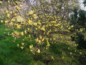 Magnolia 'Butterflies'