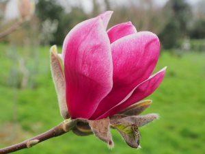 Magnolia 'Crescendo'