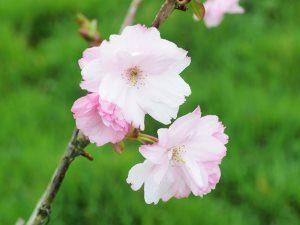 Prunus matsumae 'Beni-Yukata'