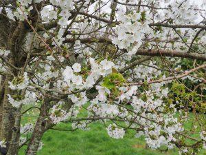 Prunus 'Umineko'