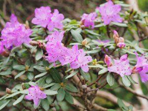 Rhododendron impeditum 'JC Williams'