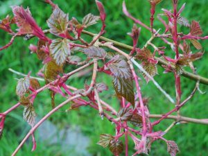 Acer x conspicuum 'Red Flamingo'