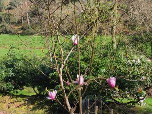 Magnolia 'Early Rose'
