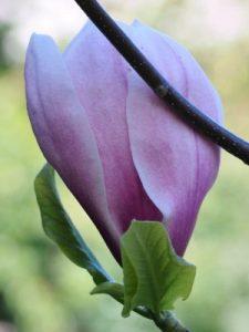 Magnolia 'Eric Savill' x 'Felicity'