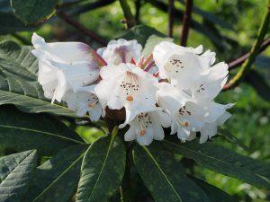 Rhododendron gratum