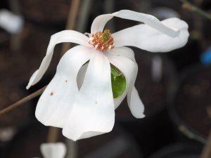 Magnolia 'Black Velvet'