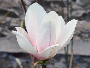 Magnolia 'Cup Cake'