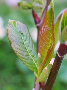 Salix moupinense