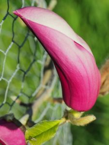 Magnolia 'Anya'