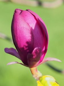 Magnolia 'Black Tulip' x 'Deep Purple Dream'