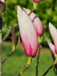 Magnolia 'Sentinel'