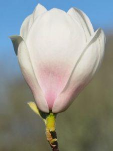 Magnolia 'Spring Rite'