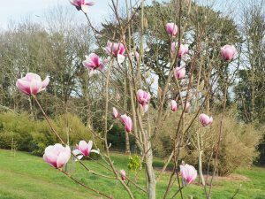 Magnolia 'Hot Lips'