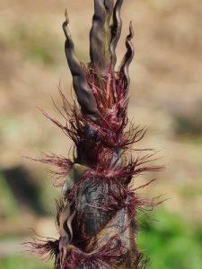 Phyllostachys flexuosa