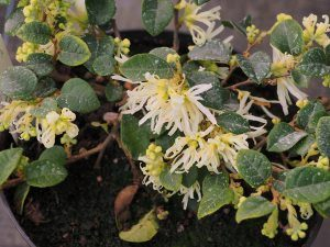 Loropetalum carolina 'Moonlight'
