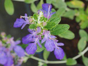 Teucrium fruiticosum 'Azureum'