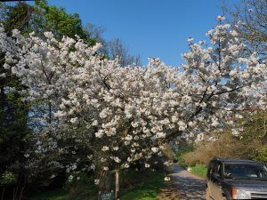 Prunus 'Shirofugen'
