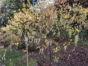 Stachyurus chinensis 'Joy Forever'