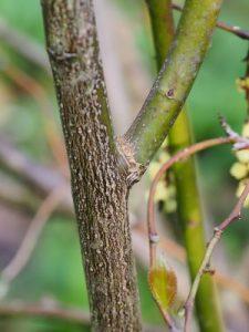 Stachyurus praecox