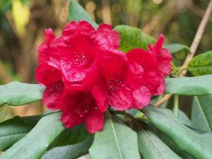 Dad's last (dark red) rhododendron hybrid
