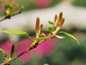 Betula alleghanensis