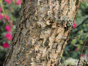 Betula pendula ssp. szechuanica 'Liuba White'