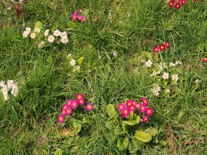 Cyclamen coum, coloured primroses and wild primulas