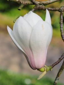 Magnolia 'Rouged Alabaster'