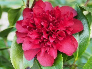 Camellia 'Midnight Magic'