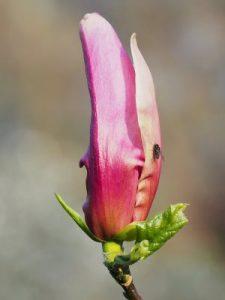 Magnolia lilliflora 'Raven'