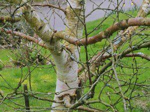 Betula ermanii 'Greyswood Hill'