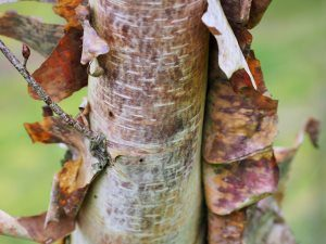 Betula utilis ssp. albosinensis