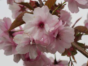 Prunus matsumae 'Beni-Yutaka'