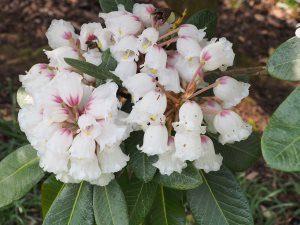 Rhododendron soilenhense