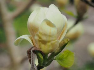 Magnolia 'Honey Tulip'