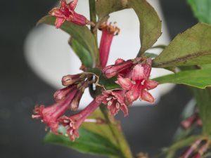 Alseuosmia macrophylla