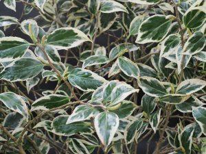 Camellia 'Benten'