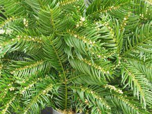Cephalotaxus sinensis