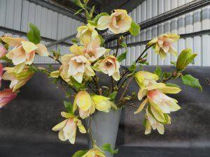 Magnolia 'Tropicana'