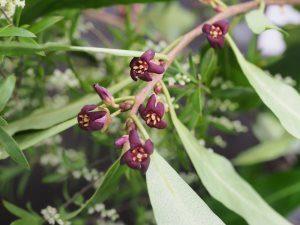 Pittosporum fasciculatum